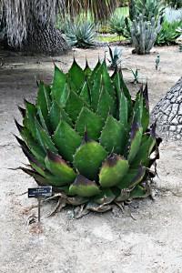 Agave plante