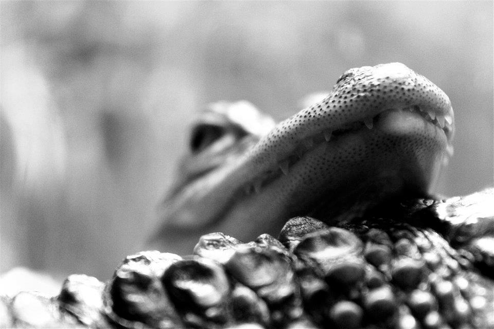I Bronx Zoo venter blant annet krokodiller, påfugler og lemurer. Foto: L. Kongerud