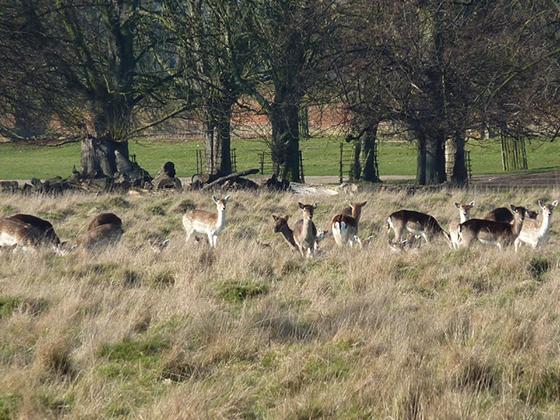 Richmond Park ligger en kort togtur unna London. En fin avveksling fra Hyde Park.