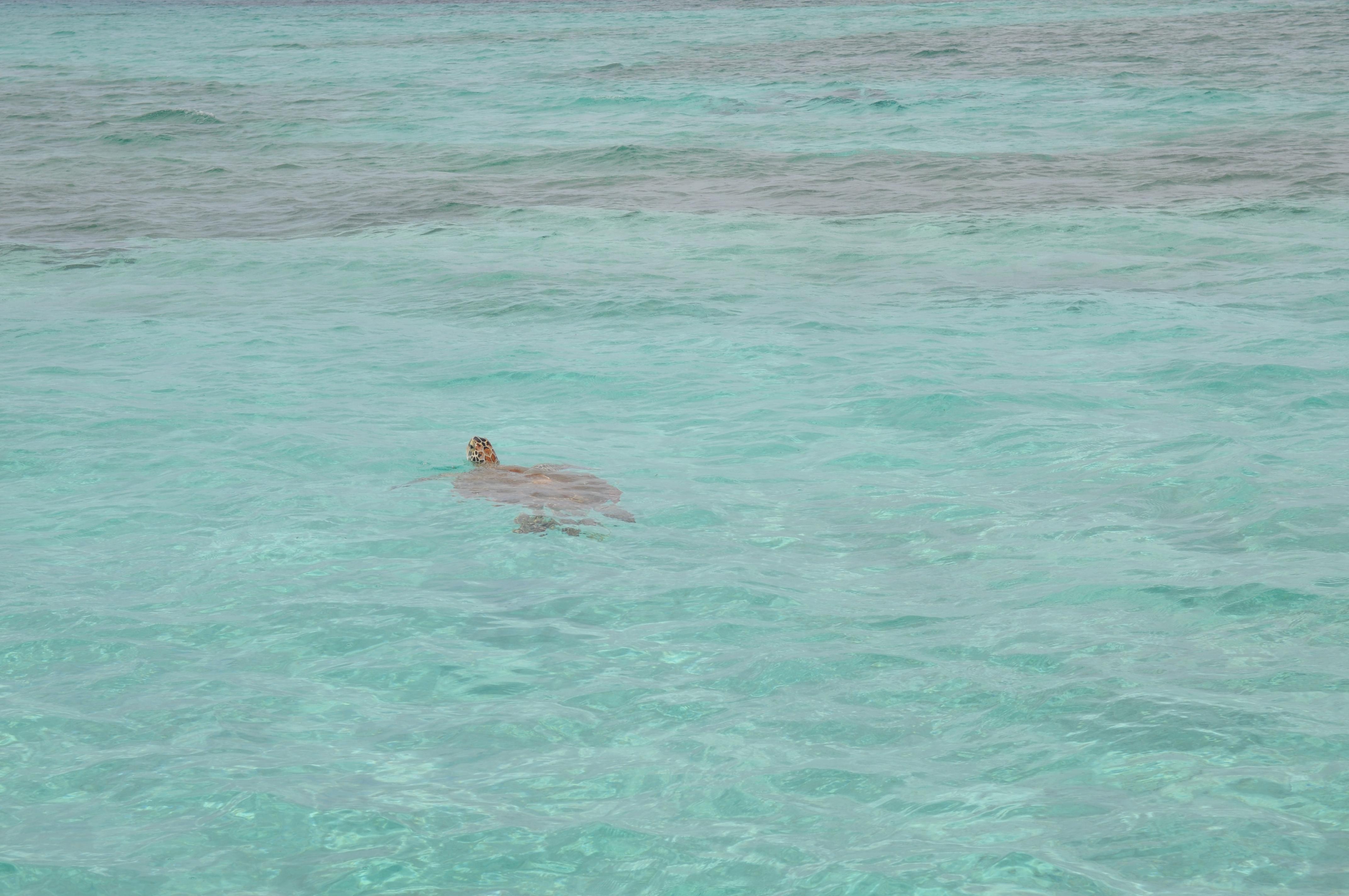 mhk-bahamas-havskilpadde