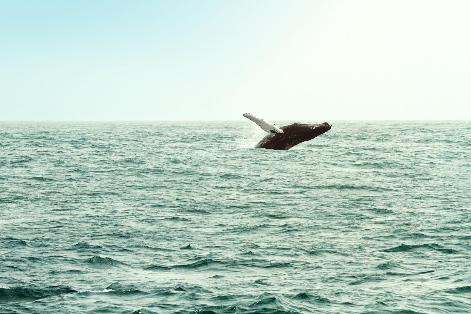 Bildetekst: Blir du med på en båtutflukt får du kanskje se både delfiner og hvaler i sitt rette element.