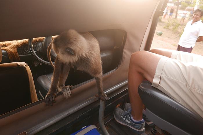 Bildetekst: En ape har klatret inn i safarijeepen i Yala National Park.