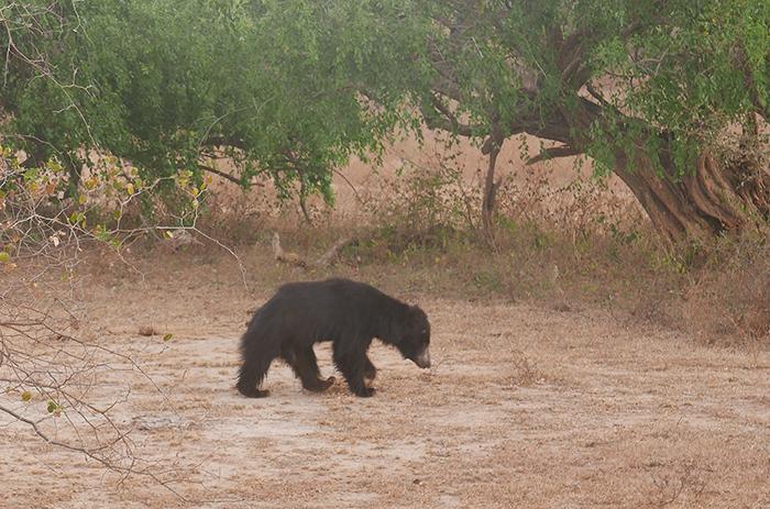 Bildetekst: Bilde av en brunsvart, rufsete dovenbjørn.